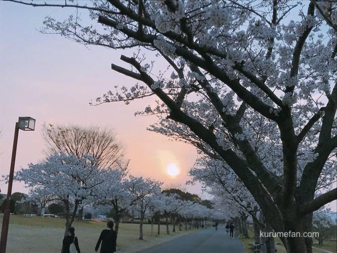 久留米百年公園の桜