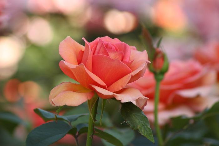 「石橋文化センター春のバラフェア2018」400品種2600株の薔薇