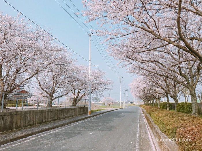 久留米市南部浄化センター 桜並木へ訪れた 花見期間中は一般開放【開花状況】