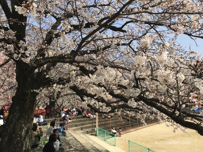 小頭町公園(久留米市小頭町)ソメイヨシノ