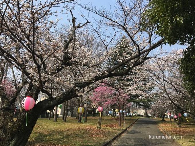 久留米市荒木町 鷲塚公園 花見 ソメイヨシノ