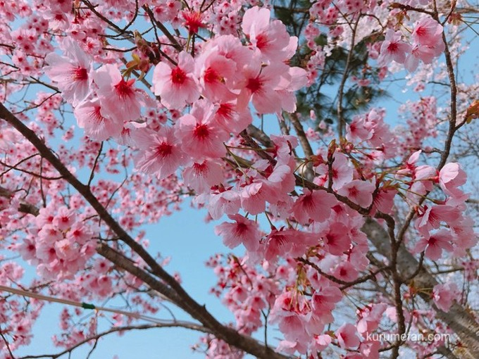 久留米市荒木町 鷲塚公園 陽光桜