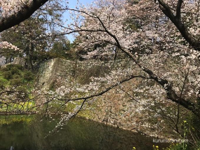 久留米城跡(久留米市篠山町) 桜