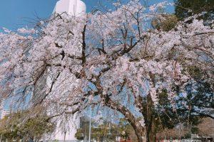 久留米市役所前 しだれ桜が満開!花が流れ落ちるように咲き誇る【両替町公園】