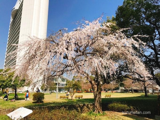 久留米市役所側の両替町公園にある「しだれ桜」
