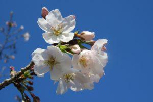 福岡管区気象台 福岡の桜(そめいよしの)の開花を発表!昨年より6日早い開花