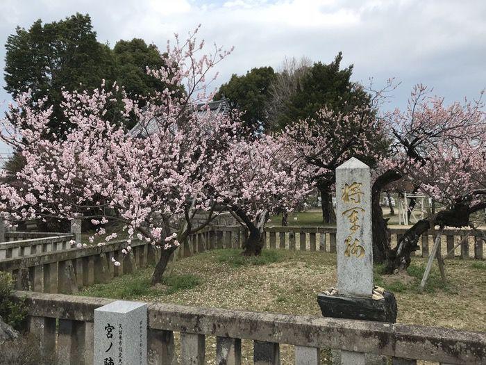 宮ノ陣神社 見頃の時期の将軍梅 2018年