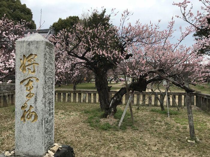 宮ノ陣神社 将軍梅