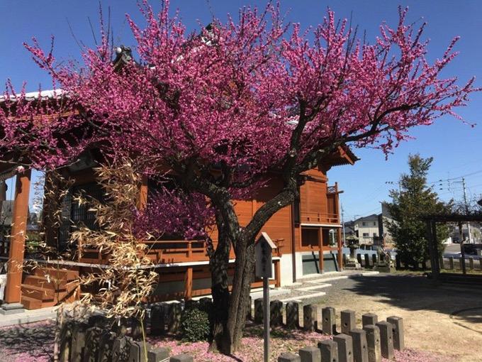 久留米市 五郎丸神社の梅