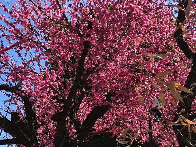 久留米市 五郎丸神社の満開の梅