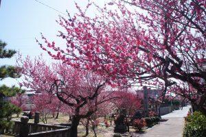 久留米市 宮ノ陣神社の梅・将軍梅を見てきました!【梅の名所】