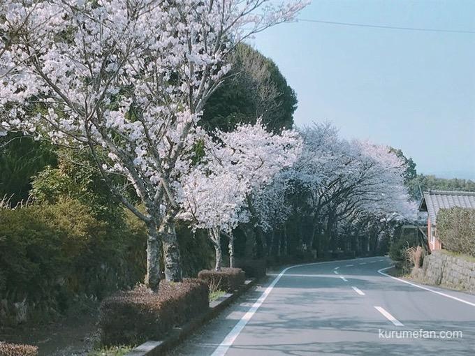 田主丸平原古墳公園 桜