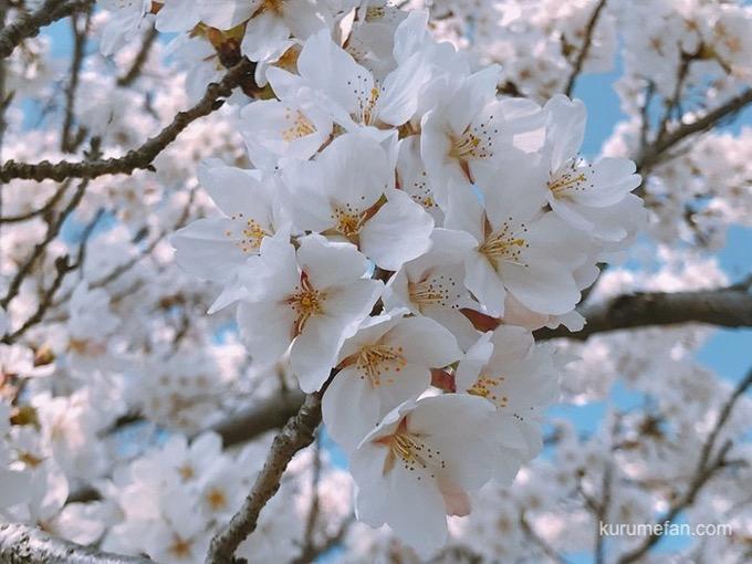 うきは市 流川桜並木