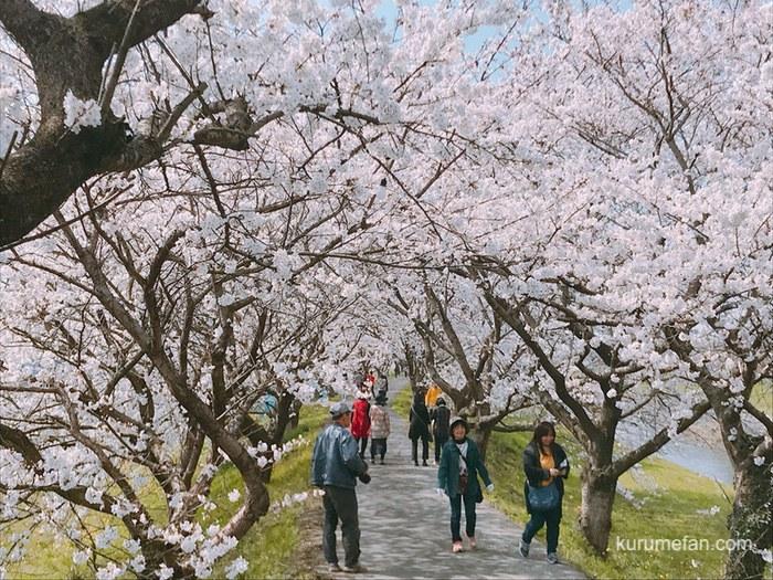 うきは市 流川桜並木と浮羽稲荷神社へ行ってきた!2kmに1000本の桜並木に圧巻!