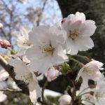 八女市 桜祭りまとめ 黒木・やべ・上陽のサクラ!ライトアップも!