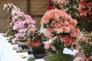 「第76回 さつき盆栽展」植木苗木の町 久留米市田主丸町 伝統ある行事