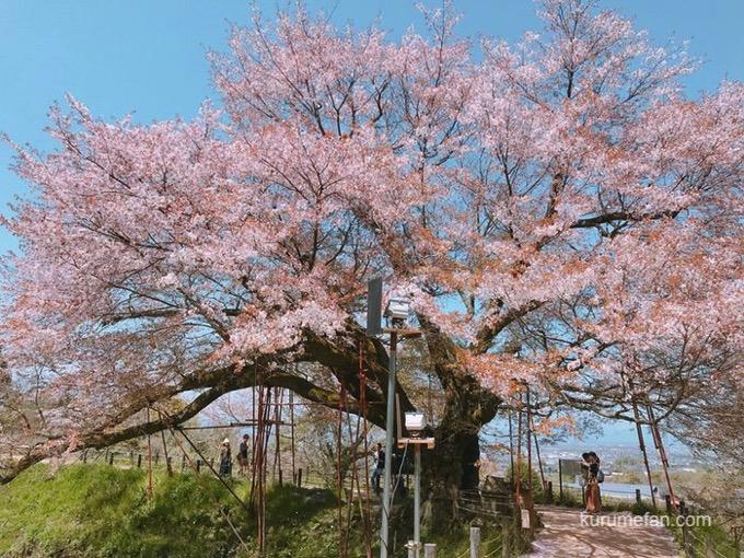 久留米市山本町 浅井の一本桜