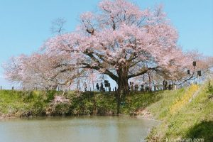 久留米市 浅井の一本桜 樹齢約100年 地元に愛され守られるヤマザクラを見てきた