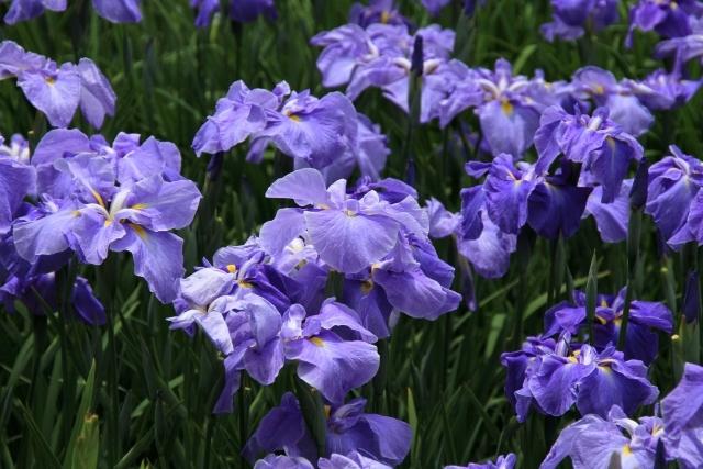 石橋文化センターあじさい・はなしょうぶまつり2018 30品種1万株の花々