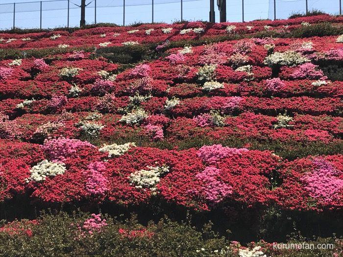 星野村 星の花公園入り口付近のツツジ