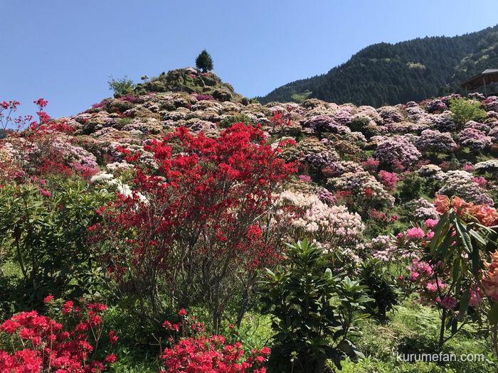 星の花公園 3万本の色鮮やかなシャクナゲ