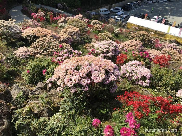 星の花公園 シャクナゲ