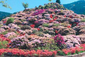 星野村 星の花公園に行ってきた!3万本の色鮮やかなシャクナゲとツツジに魅了される!