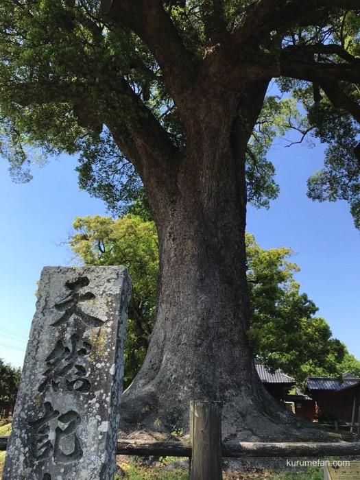 黒木町 樹齢800余年の津江神社の樟