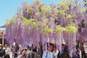 八女黒木大藤まつりへ行ってきた!樹齢600年 優雅に咲く大藤