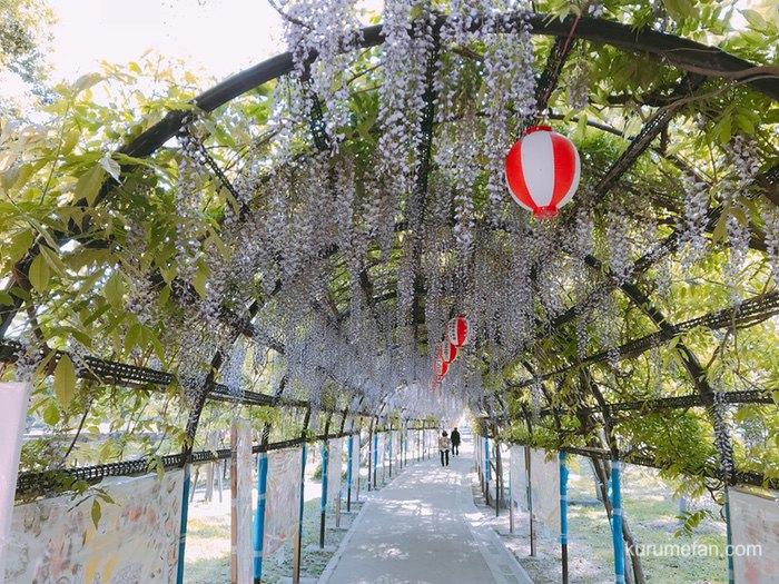 中山熊野神社 藤のトンネル
