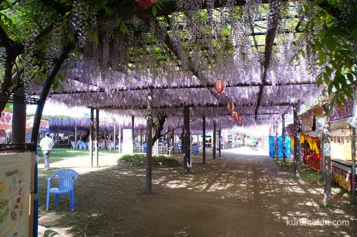 中山大藤 優雅に咲くフジのカーテン
