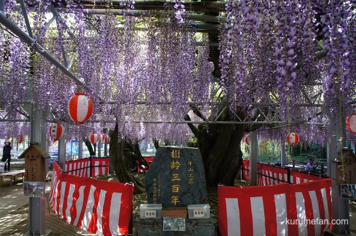 樹齢約300年になる福岡県指定天然記念物「中山大藤」