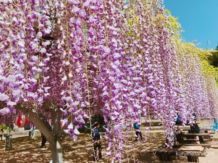 大中臣神社の将軍藤の藤の花