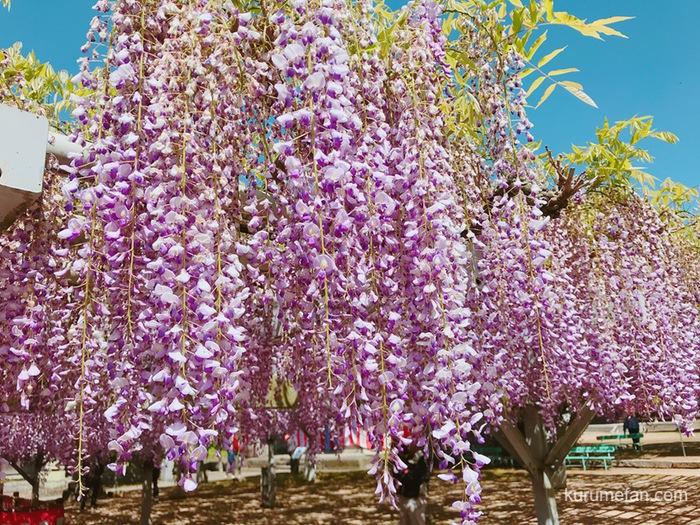 大中臣神社 将軍藤の藤の花