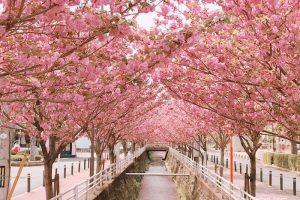 久留米市 池町川沿いの八重桜が満開!八重桜のアーチにうっとり!