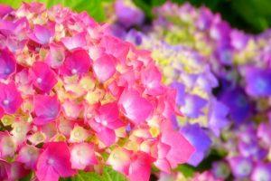 久留米市「高良山あじさい祭り」4000株の色とりどりのあじさい園