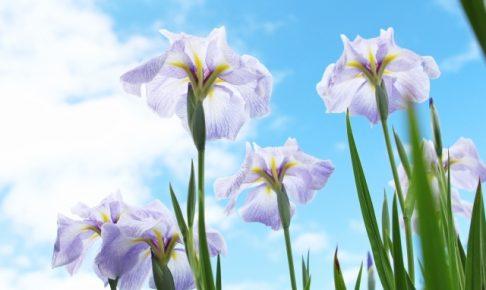 久留米市周辺 花菖蒲(はなしょうぶ)おすすめスポットまとめ【開花情報】