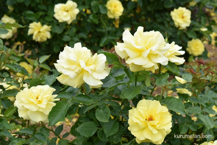 石橋文化センター春のバラフェア 黄色の薔薇