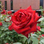 石橋文化センター春のバラフェアに行ってきた!2,600株 薔薇の芳醇な香り