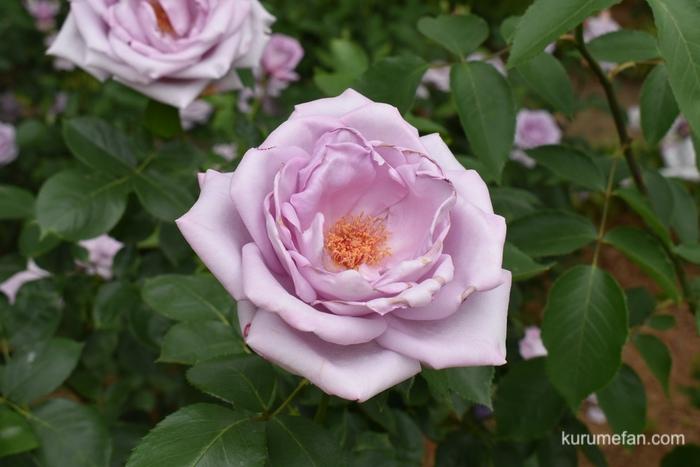 石橋文化センター春のバラフェア 薔薇