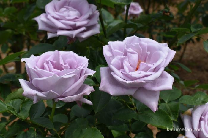 石橋文化センター春のバラフェア 薔薇の香り