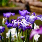 柳川市「椛島菖蒲園」約20種3万本のハナショウブが咲き乱れる