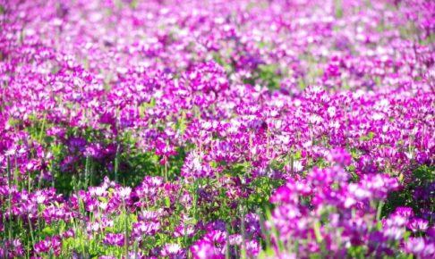 久留米市土づくり広場の農園 GW期間開放!きれいなレンゲ畑を見に行こう!