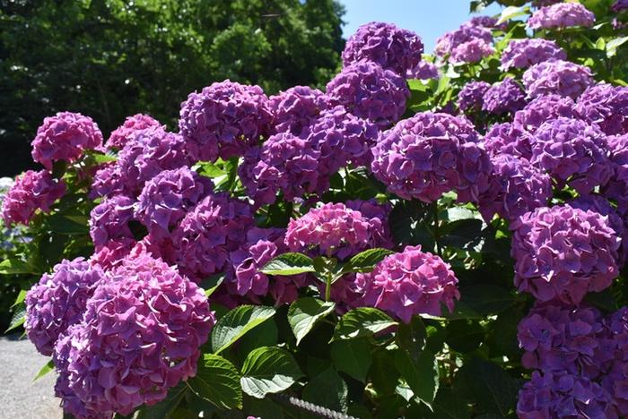 久留米市 千光寺(あじさい寺)咲き誇る紫色のアジサイ