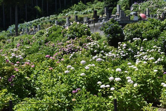 久留米市 千光寺(あじさい寺)傾斜に咲くアジサイ