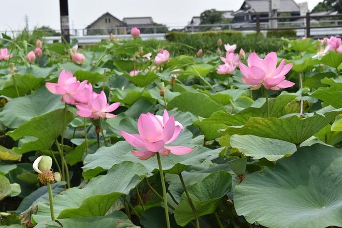 Miyakimati hasunohana 2018 0011