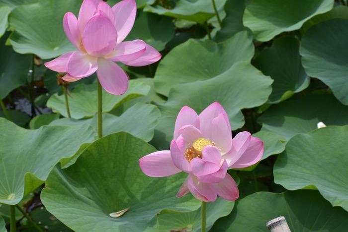 千栗土居公園 蓮の花「二千年蓮(はす)」
