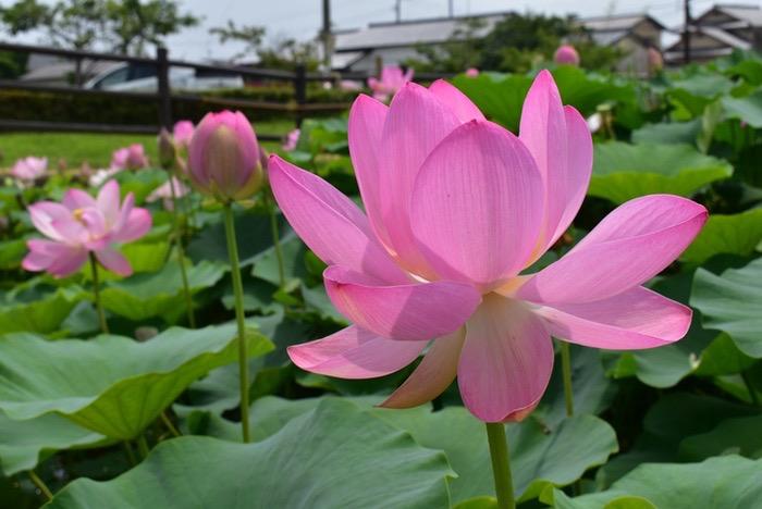 千栗土居公園 蓮の花「二千年蓮(はす)」を見てきた!大輪の花に癒やされる【みやき町】