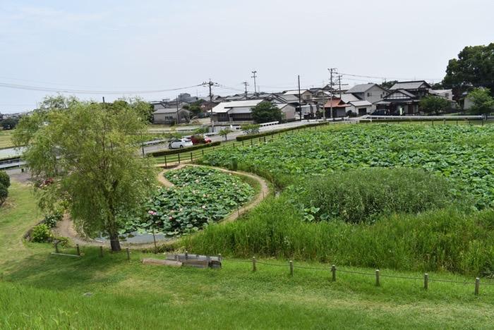 千栗土居公園 蓮の花「二千年蓮(はす)」公園南側