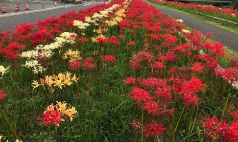 高良川彼岸花まつり 8種5万株の彼岸花 幻想的な秋の夕べ【久留米市】